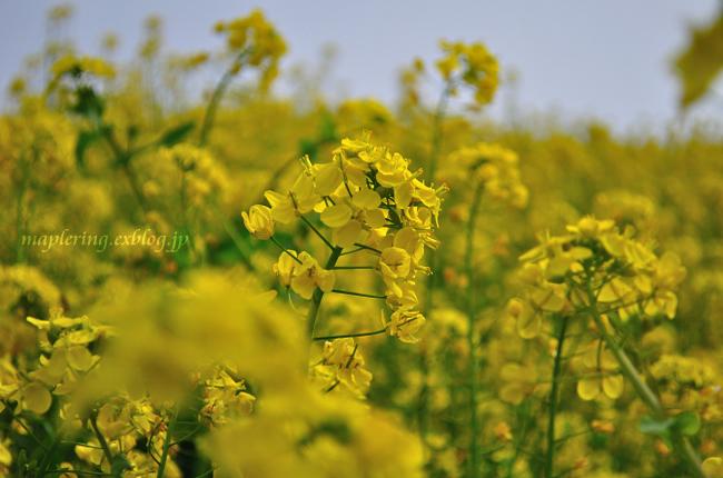 菜の花準備中_f0234062_2213940.jpg