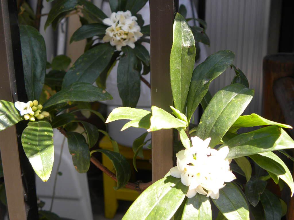 この花の香りに癒されました_c0162773_12141839.jpg