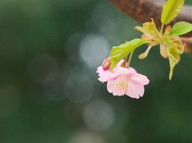 河津桜_f0018464_18313564.jpg