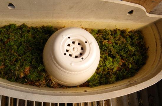 水苔の再生とミニシクラメンと猫・・・とりとめもなく・・^^_a0136293_17124710.jpg