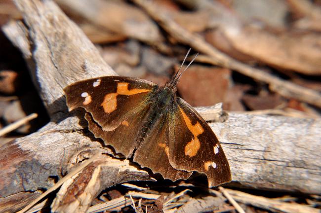 2011年3月の蝶_e0194952_18122599.jpg