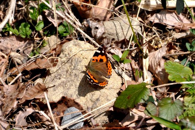 2011年3月の蝶_e0194952_1819296.jpg