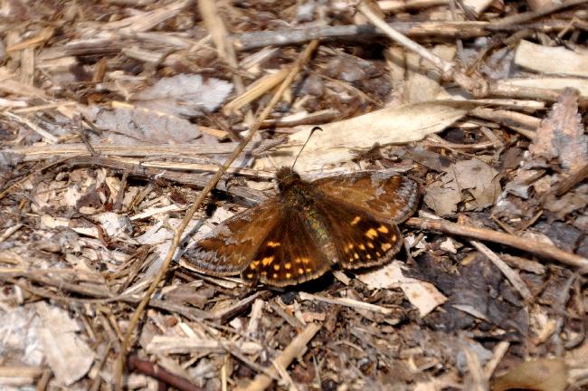 2011年3月の蝶_e0194952_18282572.jpg