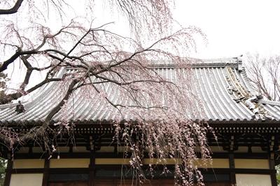 枝垂れ桜は~_a0133859_23253467.jpg