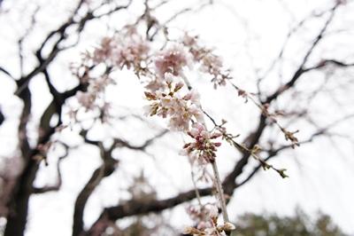 枝垂れ桜は~_a0133859_2333382.jpg
