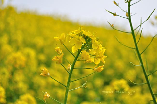 菜の花①_f0234062_20285814.jpg