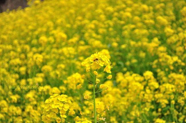 菜の花①_f0234062_20293583.jpg