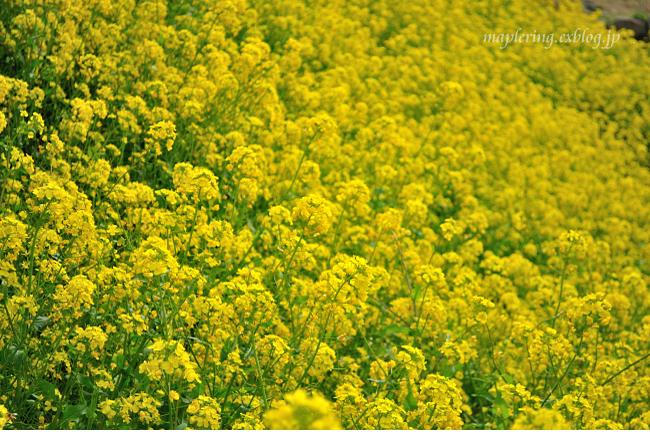 菜の花①_f0234062_20321935.jpg