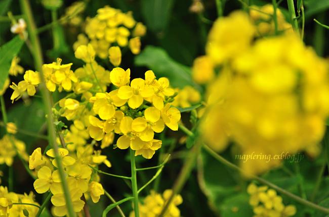 菜の花①_f0234062_20343661.jpg