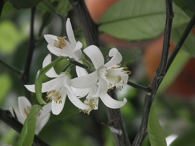 シマは香りの季節_e0028387_361620.jpg