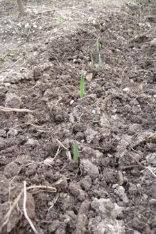 今年も畑を頑張るぞ~3月の畑_f0106597_21441618.jpg