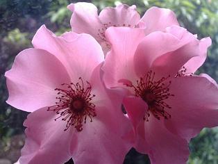ピンクの細胞_d0085018_15182258.jpg