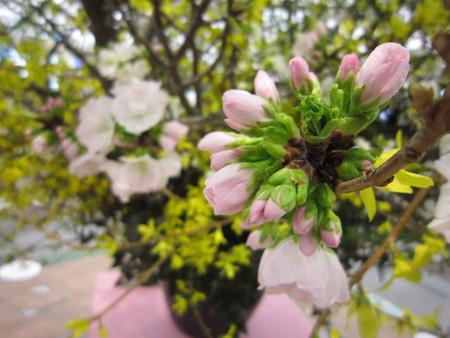 桜②_e0126218_2239387.jpg