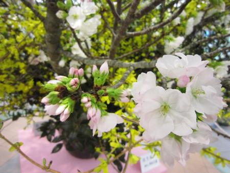 桜②_e0126218_2240221.jpg