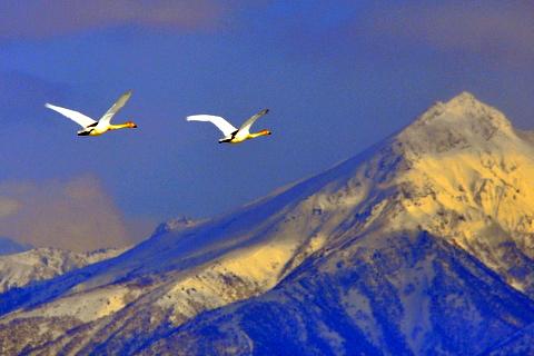 大雪山連峰に舞うオオハクチョウ。_b0165760_19544481.jpg
