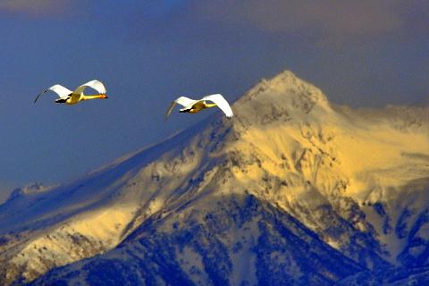 大雪山連峰に舞うオオハクチョウ。_b0165760_19553020.jpg