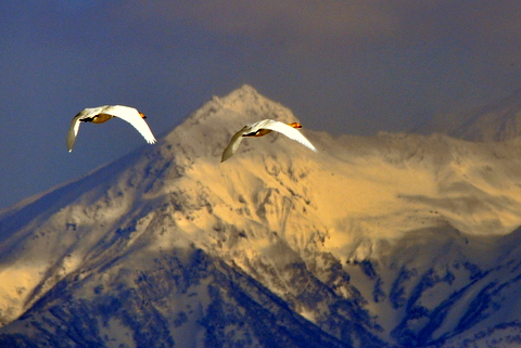 大雪山連峰に舞うオオハクチョウ。_b0165760_1956161.jpg