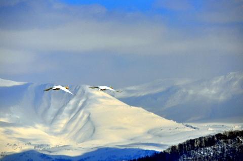 大雪山連峰に舞うオオハクチョウ。_b0165760_19583334.jpg