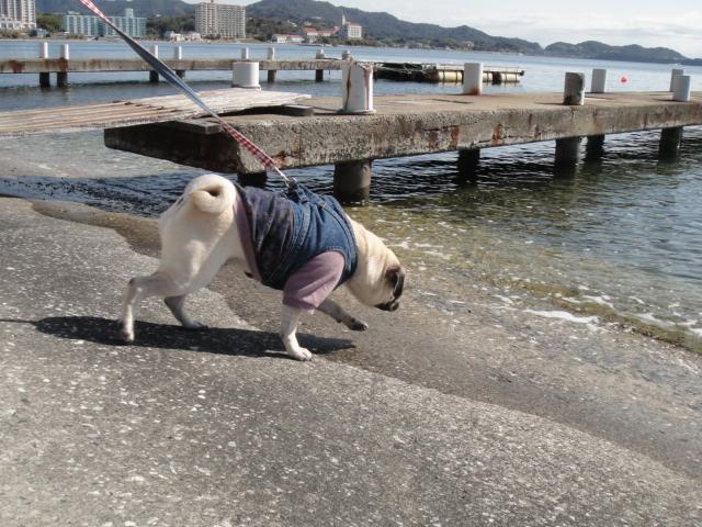 パグ in 浜名湖_b0190666_814316.jpg