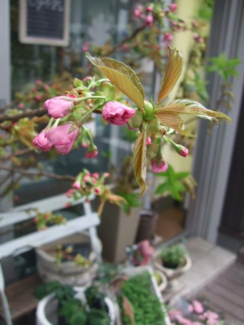 オークリーフ(ジョンクは春の香り)_f0049672_1172160.jpg