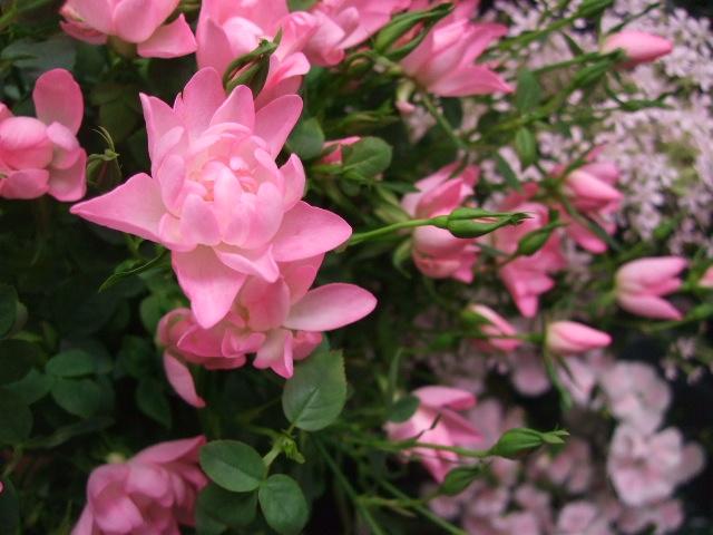 オークリーフ(ジョンクは春の香り)_f0049672_1181065.jpg