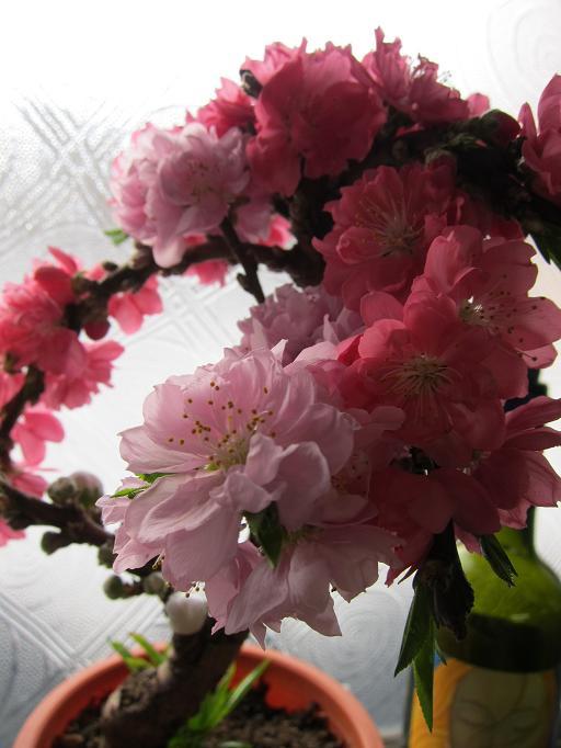 コーヒーリーフ キルティング、 桃の花_c0205573_1781145.jpg