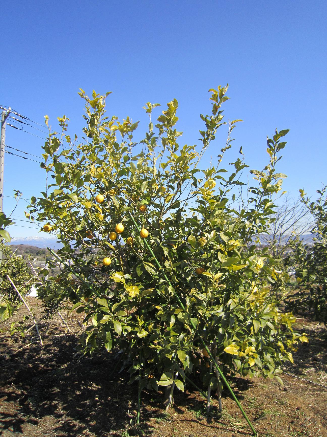 父のレモン畑 バゥ_d0084229_7341015.jpg