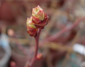 ブルーベリーの花芽、動く_e0097534_15111117.jpg