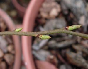 ブルーベリーの花芽、動く_e0097534_15156100.jpg