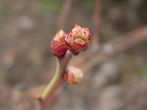 ブルーベリーの花芽、動く_e0097534_1524230.jpg