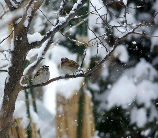 春の雪と餌台 初キジバトなど_a0136293_1749935.jpg