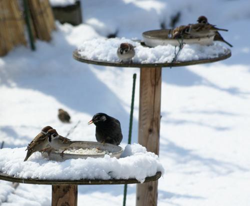 春の雪と餌台 初キジバトなど_a0136293_17512322.jpg
