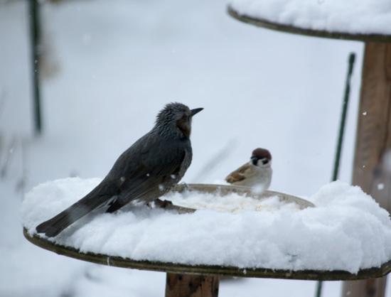 春の雪と餌台 初キジバトなど_a0136293_1751545.jpg