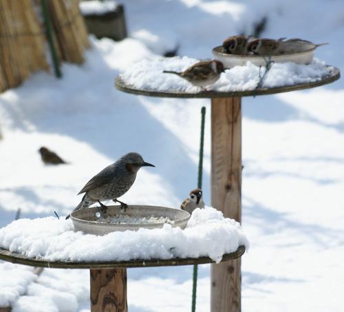 春の雪と餌台 初キジバトなど_a0136293_181565.jpg