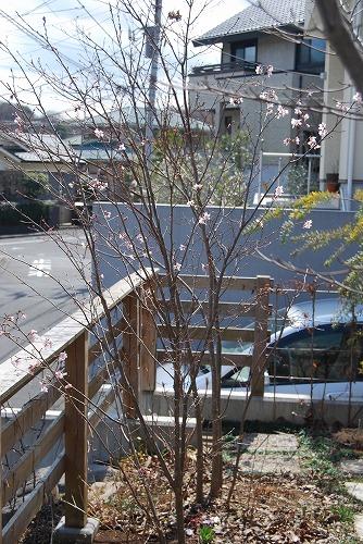 啓翁桜(けいおうざくら) 2011_c0124100_15292959.jpg