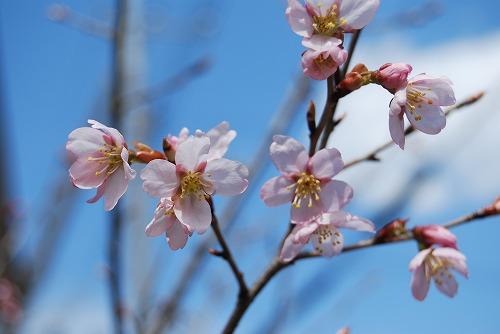 啓翁桜(けいおうざくら) 2011_c0124100_1529791.jpg