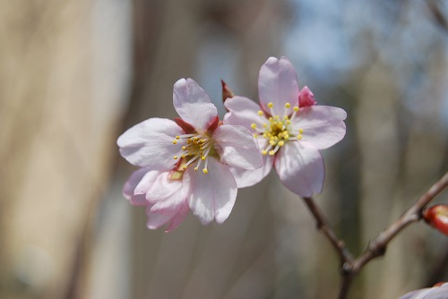 啓翁桜(けいおうざくら) 2011_c0124100_15302075.jpg