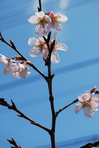 啓翁桜(けいおうざくら) 2011_c0124100_15302972.jpg