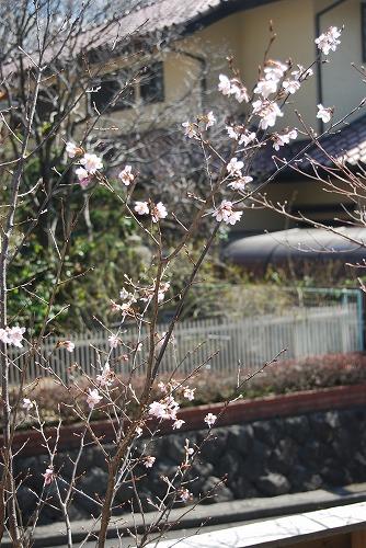 啓翁桜(けいおうざくら) 2011_c0124100_1530356.jpg