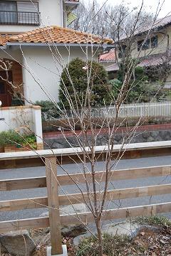 啓翁桜(けいおうざくら) 2011_c0124100_15365492.jpg