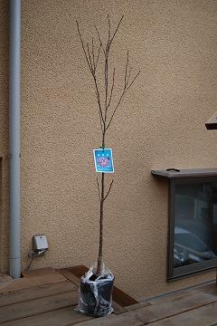啓翁桜(けいおうざくら) 2011_c0124100_1551128.jpg