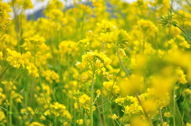 菜の花②_f0234062_20275395.jpg