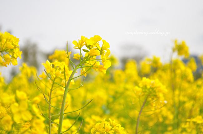 菜の花②_f0234062_20465476.jpg