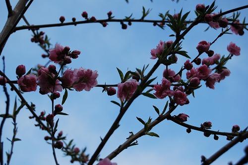花桃(はなもも)2011_c0124100_15281551.jpg