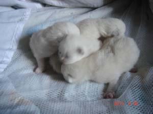 ラグドールの赤ちゃん 1週間 ~~~~_e0033609_011326.jpg