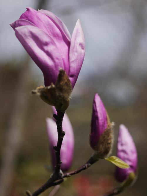 庭の花々 LUMIX DMC GF1 + Micro-NIKKOR55mm 1:2.8_e0203309_14333820.jpg