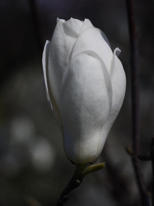 庭の花々 LUMIX DMC GF1 + Micro-NIKKOR55mm 1:2.8_e0203309_14335969.jpg