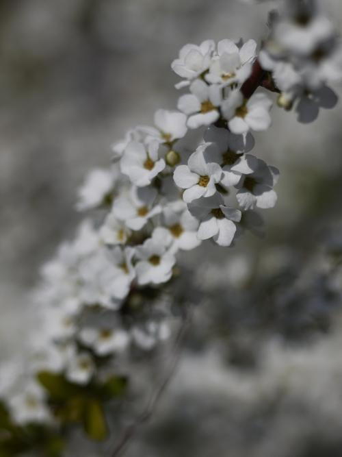 庭の花々 LUMIX DMC GF1 + Micro-NIKKOR55mm 1:2.8_e0203309_14344273.jpg
