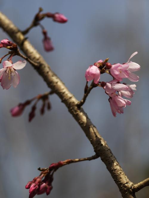 庭の花々 LUMIX DMC GF1 + Micro-NIKKOR55mm 1:2.8_e0203309_14364267.jpg