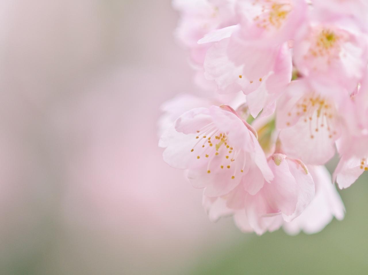 寒桜_f0018464_8361299.jpg